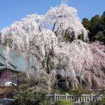 高遠城址公園の桜2017年の開花予想と見頃は?駐車場や渋滞情報!