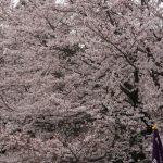 お花見の穴場はどこ?東京の隠れ花見スポットはここ!