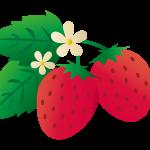 イチゴ狩り千葉でのおすすめは?美味しい時期は!