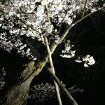 兼六園の桜2017年の見頃は?ライトアップと桜祭り情報!