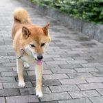犬の散歩のしつけ方法?排泄のしつけ?